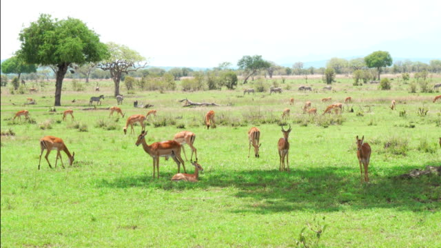 Herd of Impala antelopes resting and eating grass video