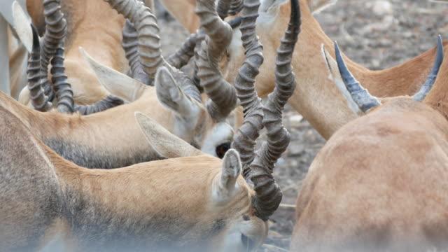 Herd of Impala video