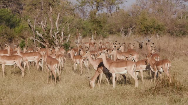 Herd of impalas in the African bush, standing and looking around, Botswana video