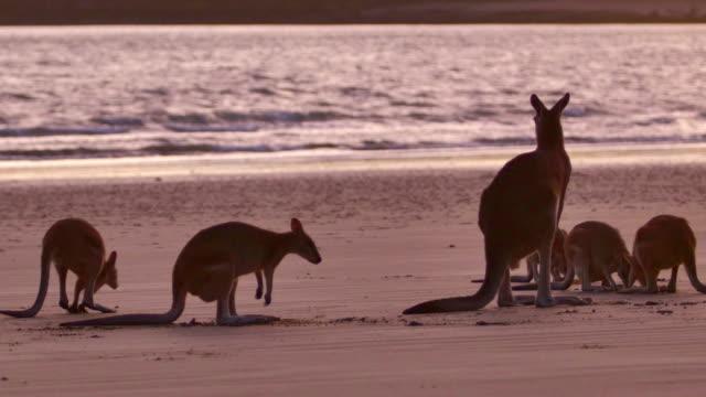 Herd of Kangaroos on the beach video