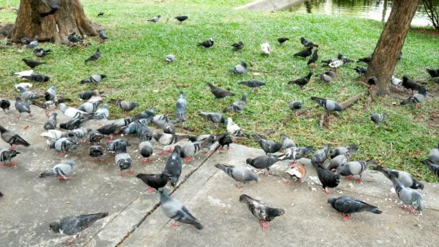 herd of pigeons eating bread in the park - zachowanie zwierzęcia filmów i materiałów b-roll