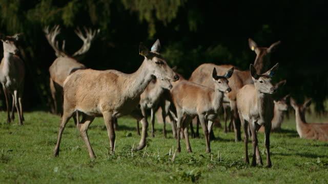 herd of red deer - slow motion video