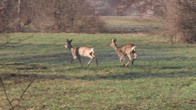 hd: a stado roe deers - jeleniowate filmów i materiałów b-roll