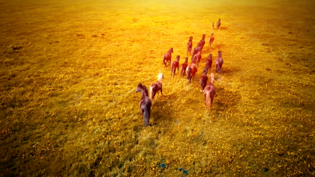 A herd of running horses at sunset video