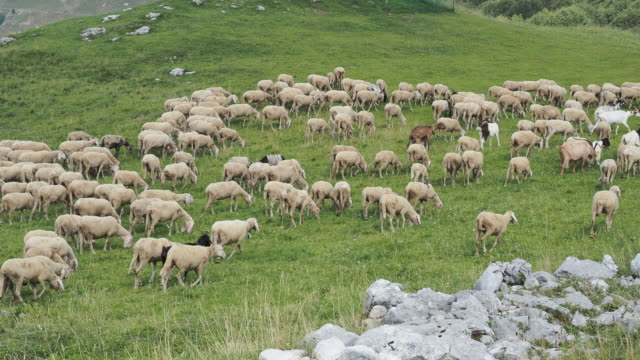stockvideo's en b-roll-footage met kudde schapen en geiten grazen in de weiden van de italiaanse alpen. berg natuurlijke omgeving - alpen