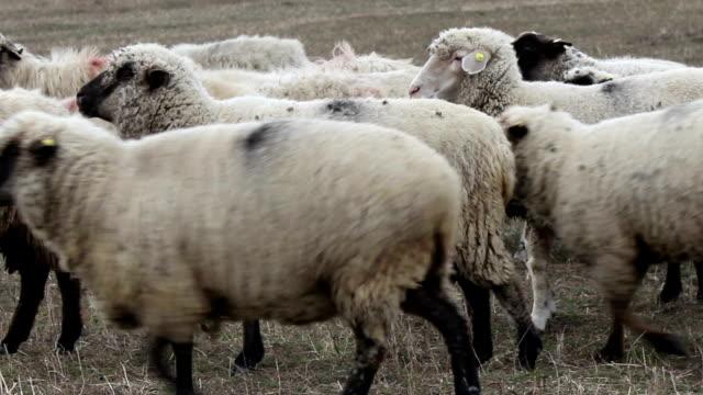 vídeos de stock, filmes e b-roll de rebanho de carneiro - manada