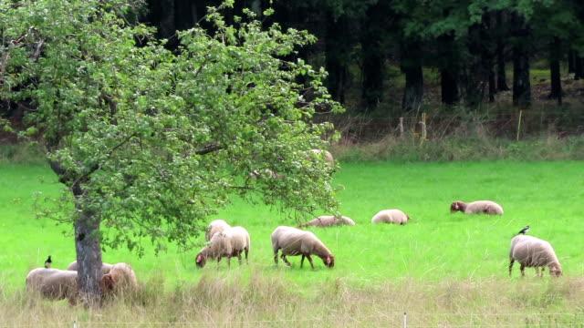 herd of sheeps grazing on schalkenmehrener maar lake meadows in german eifel region. - mandriano video stock e b–roll