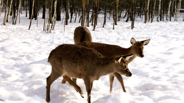 A herd of Sika deer in the winter forest A hungry herd of Sika deer came out of the winter forest in search of food zoology stock videos & royalty-free footage