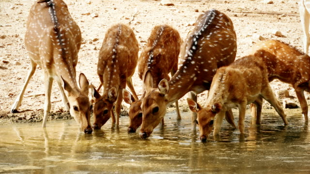 a herd of spotted deers drinking from a water pool - jeleń aksis filmów i materiałów b-roll