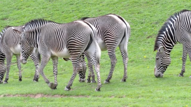 herd of the grevy's zebra (equus grevyi) grazing on green grass - equino video stock e b–roll
