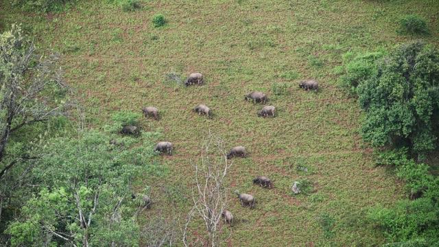 Herd of water buffalo grazing on green hill in farmland