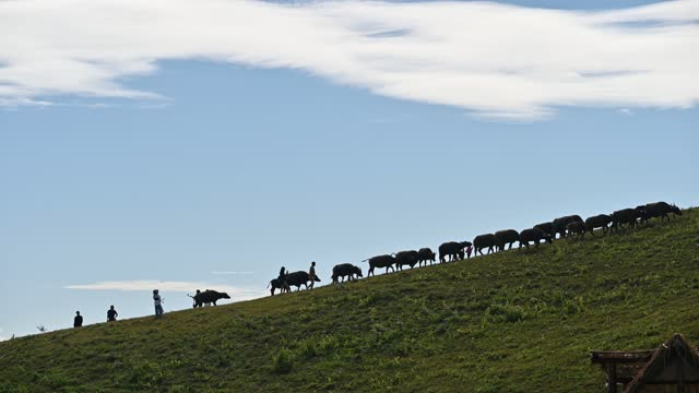 Herd of water buffalo walking on green hill with tourists traveling in farmland