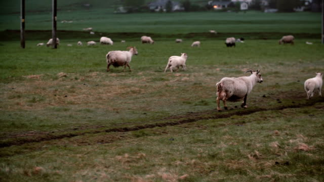Herd of white sheep grazing on the mountain field together. Sheep with lambs walking on the meadow video