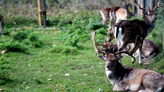 Herd of wild deer with antlers video