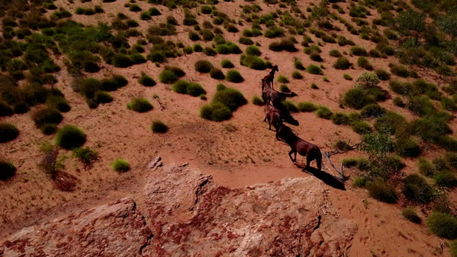 Herd of wild horses from aerial view video