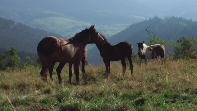 herd of wild horses in the mountains - animale femmina video stock e b–roll