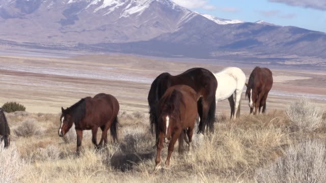 herd of wild horses in utah - equino video stock e b–roll