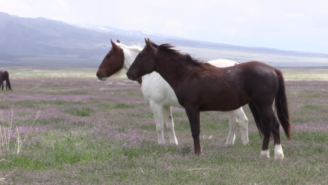 herd of wild horses in utah - mustang video stock e b–roll