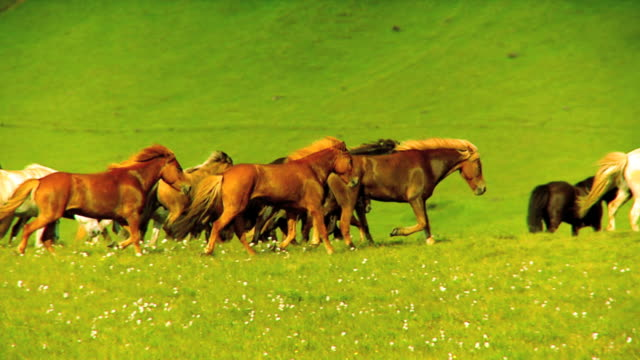 Herd of Wild Horses  mustang wild horse stock videos & royalty-free footage