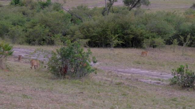 stockvideo's en b-roll-footage met een kudde wilde leeuwen met cubs in de struiken van de afrikaanse savanne. 4k - leeuwin