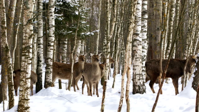 A herd of wild Sika deer in the forest A herd of wild Sika deer walks in the winter forest zoology stock videos & royalty-free footage