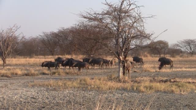 Herd of Wildebeest in Dry Savanna, Makgadikgadi Pan, Botswana Large Herd of Wildebeest in Dry Savanna Landscape, Makgadikgadi Pan National Park, Botswana, Africa makgadikgadi pans national park stock videos & royalty-free footage