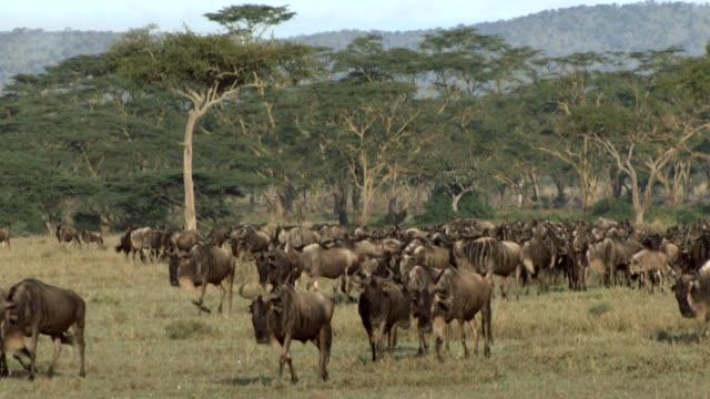 Herd of wildebeest migrating in Serengeti video