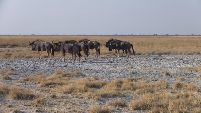 Herd of Wildebeest Walking in the Makgadikgadi Salt Pans Herd of Blue Wildebeest Grazing and Walking on the Grass Plain of the Sowa Pan, Makgadikgadi Salt Pans, Botswana makgadikgadi pans national park stock videos & royalty-free footage