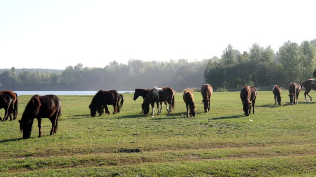 Herd of young horses on the pasture at sunny day video