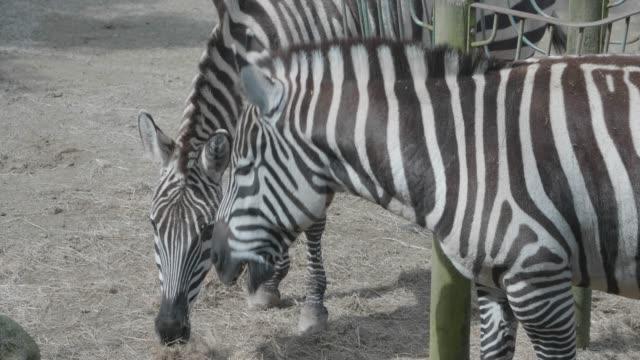 Herd of zebras eating video