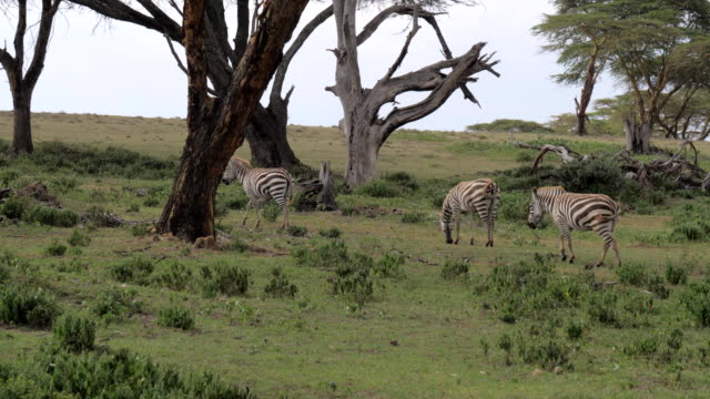 A Herd Of Zebras Grazing In A Field And Walk The African Savannah Of Acacias video