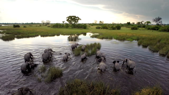 Herd on the move through the water video