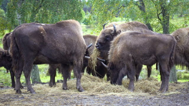 Herda of American Bisons grazing grass and hay video