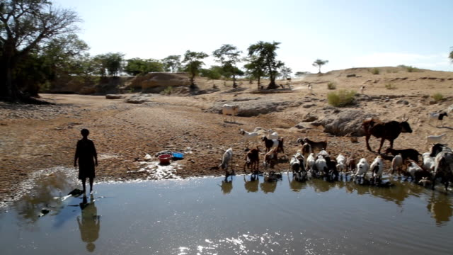 POV Herder With His Cattle By The Water video