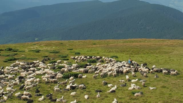 herdmen tending flock of sheep. extreme long shot. herd of sheep are grazing on mountain pasture. ukrainian nature landscape at summer. big white clouds above the mountains. blurred background - mandriano video stock e b–roll
