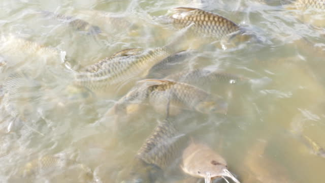 Herds of fish swimming in the river. many fish in the water video