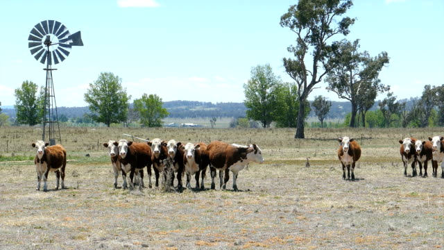 Hereford Cattle and Windmill in Dry Paddock, Australia video