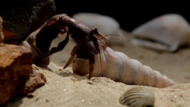 vidéos et rushes de bernard-l'hermite qui shell :  gros plan - coquille et coquillage