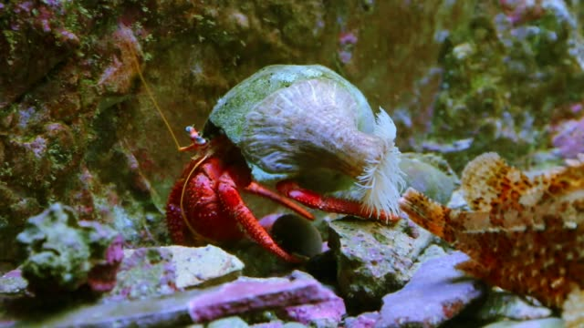 hermit crab in red color - crostaceo video stock e b–roll
