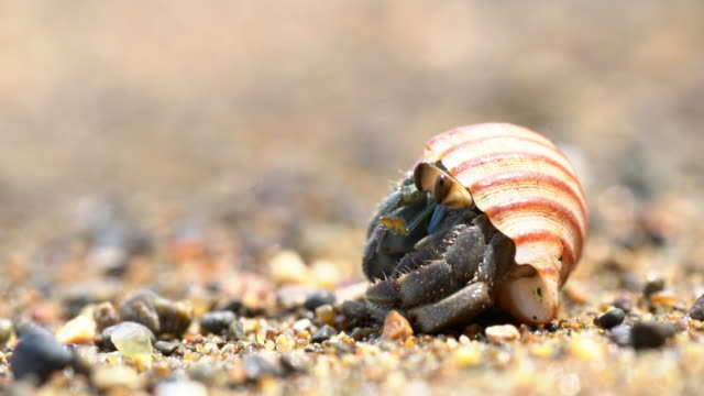 ecu hermit crab on the beach - crostaceo video stock e b–roll