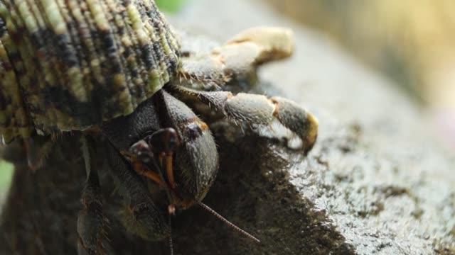 Hermit Crab struggles to climb a rock