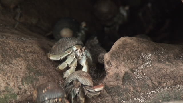 Hermit crabs in trunk video