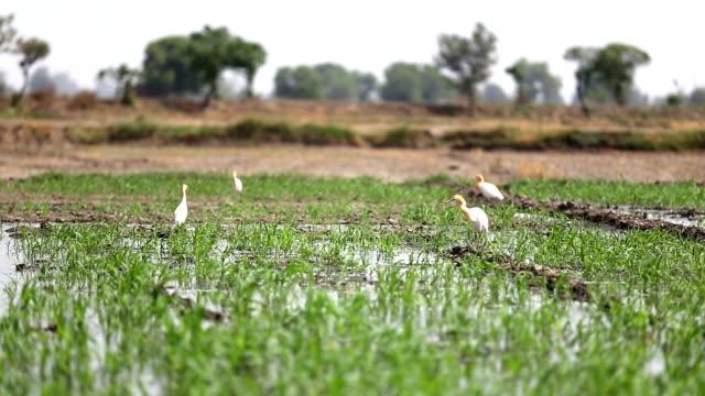 heron birds in sorghum crop - haryana video stock e b–roll