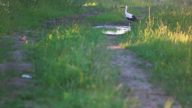 Heron drinking from puddle.