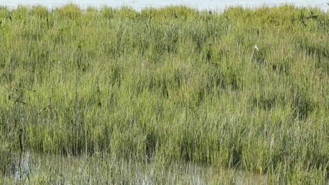 erba caccia di airone in marsh - riva del fiume video stock e b–roll