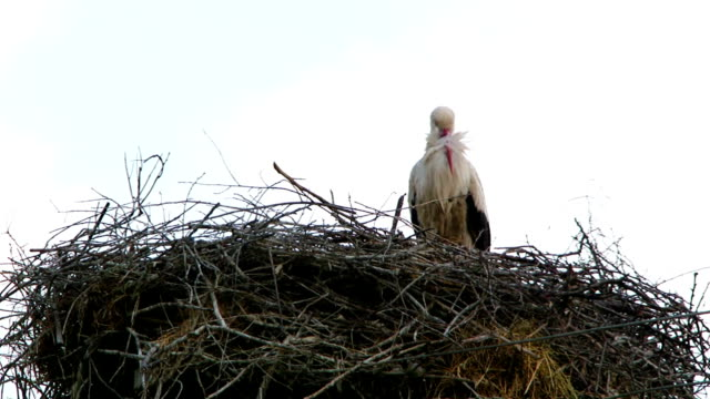Heron in a high nest video