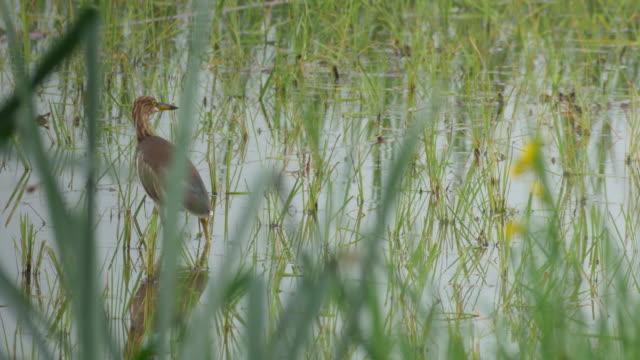 heron in the paddy field - cespuglio tropicale video stock e b–roll