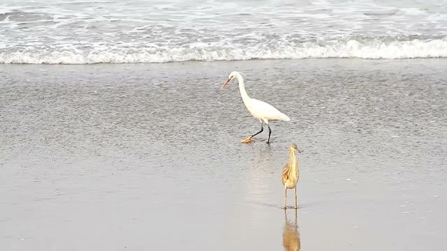 heron on a tropical sea beach video