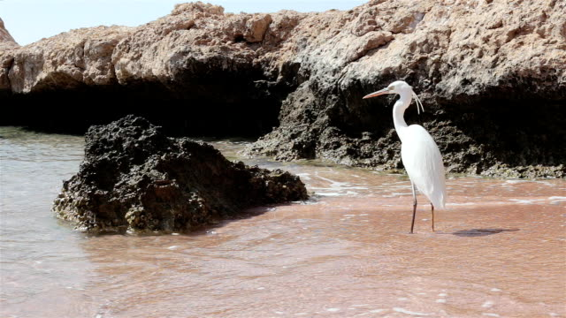Heron stands on the shore of the Red Sea. Egypt.