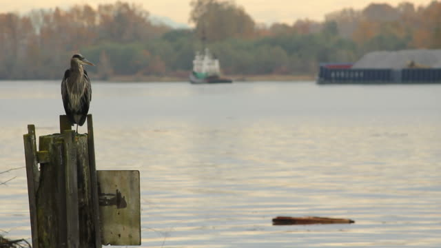 Heron Tug Boat and Barge A heron perches on a piling preening it's feathers on the Fraser River near Vancouver. British Columbia, Canada. fraser river stock videos & royalty-free footage